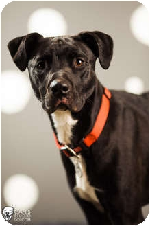 Pointer/Great Dane Mix Dog for adoption in Portland, Oregon - Chloe