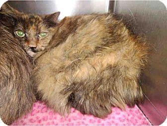 Domestic Longhair Cat for adoption in Yuba City, California - *Arwen *URGENT!*