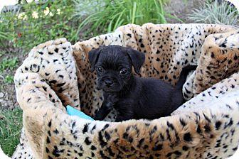 Pug/Brussels Griffon Mix Puppy for adoption in Newport Beach, California - ONYX