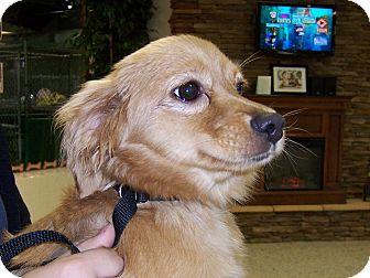 King Charles Spaniel/Hound (Unknown Type) Mix Puppy for adoption in Cincinnati, Ohio - Willow