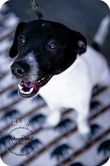 Jack Russell Terrier Dog for adoption in Burbank, California - Milo