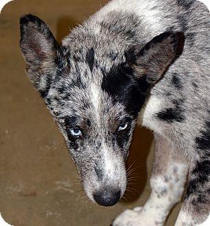Australian Shepherd/Catahoula Leopard Dog Mix Puppy for adoption in Clinton, Louisiana - PacMan-Blue Eyes