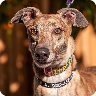Greyhound Dog for adoption in Walnut Creek, California - GENT