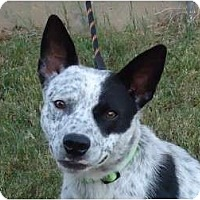 Adopt A Pet :: Charlie - Arlington, TX