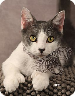 Hemingway/Polydactyl Kitten for adoption in Kerrville, Texas - Beau