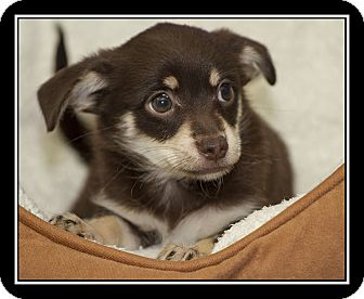 Maltese/Chihuahua Mix Puppy for adoption in Covina, California - Sable