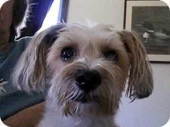 Yorkie, Yorkshire Terrier Mix Dog for adoption in Overland Park, Kansas - Maverick
