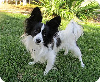Papillon Puppy for adoption in San Diego County, California - Bandit