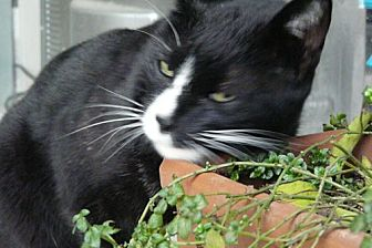Domestic Mediumhair Cat for adoption in San Dimas, California - Barkley