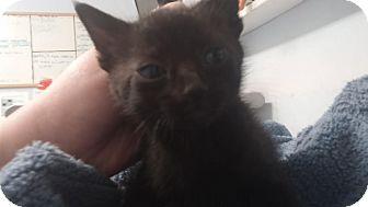 Domestic Shorthair Kitten for adoption in Darlington, South Carolina - Alex