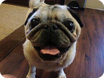Pug Dog for adoption in Pt orange, Florida - Frankie