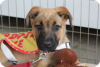 German Shepherd Dog/Shepherd (Unknown Type) Mix Puppy for adoption in Los Angeles, California - Sarah