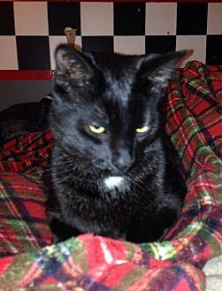 Domestic Shorthair Kitten for adoption in Caro, Michigan - Prince Charles Raisin