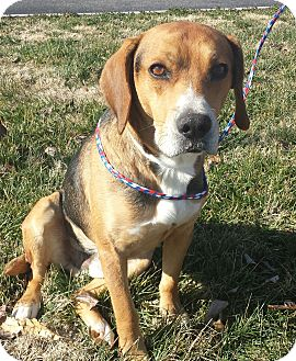 Beagle/Hound (Unknown Type) Mix Dog for adoption in Knoxville, Tennessee - Rusty- SWEETEST DOG EVER