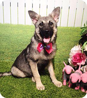 Labrador Retriever/Shepherd (Unknown Type) Mix Dog for adoption in Castro Valley, California - Jayla