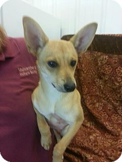Chihuahua/Rat Terrier Mix Dog for adoption in Greenville, Kentucky - Spaz