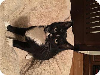 Domestic Mediumhair Kitten for adoption in Nashville, Tennessee - Adele