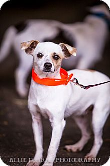 Chihuahua Mix Dog for adoption in Mantua, New Jersey - Sadie