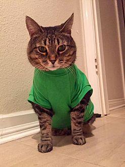 British Shorthair Cat for adoption in Santa Ana, California - Giana (Big ol' lap cat!)