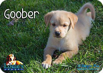 German Shepherd Dog/Australian Shepherd Mix Puppy for adoption in Cincinnati, Ohio - Goober