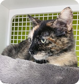 Domestic Shorthair Cat for adoption in Meridian, Idaho - Autumn (Fern)