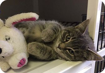 Domestic Shorthair Kitten for adoption in White Cloud, Michigan - Trinket