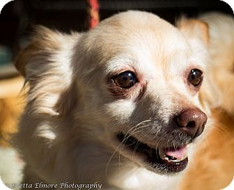 Chihuahua/Pomeranian Mix Dog for adoption in Daleville, Alabama - Teddy
