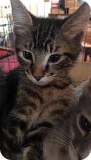 American Shorthair Kitten for adoption in Pasadena, California - Kermit