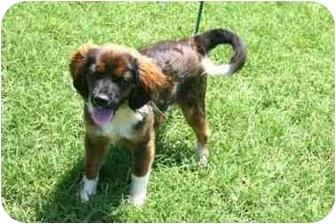 King Charles Spaniel/English Toy Spaniel Mix Dog for adoption in Muldrow, Oklahoma - REX