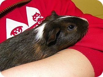 Guinea Pig for adoption in Lowell, Massachusetts - Bananagram