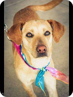 Labrador Retriever Mix Dog for adoption in Red Lion, Pennsylvania - Holly