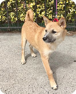 Jindo/Schnauzer (Standard) Mix Puppy for adoption in LONG ISLAND CITY, New York - Zasoon