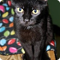 Adopt A Pet :: Soot - Norman, OK