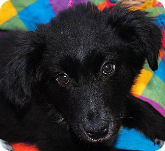 Border Collie/Spaniel (Unknown Type) Mix Puppy for adoption in Portola, California - McLeod