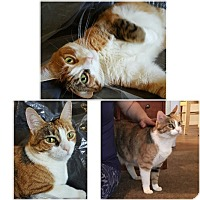 Adopt A Pet :: Topsy Tootles - declawed - Phoenix, AZ