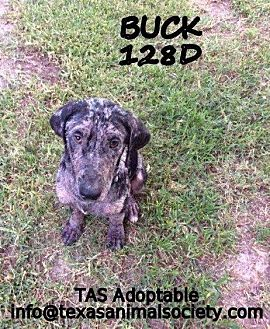 Catahoula Leopard Dog/Great Dane Mix Dog for adoption in Spring, Texas - Buck