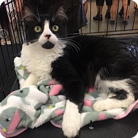 Domestic Mediumhair Cat for adoption in Los Angeles, California - Angelette