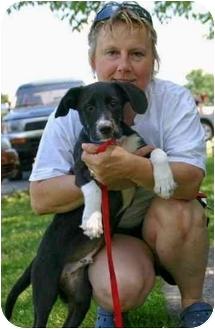 Labrador Retriever Mix Puppy for adoption in Avon, New York - Rudy