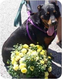 Rottweiler/Labrador Retriever Mix Dog for adoption in Baltimore, Maryland - Dixie Girl