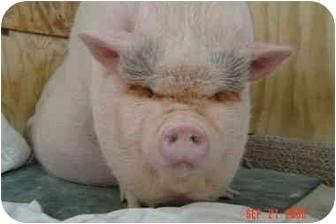 Pig (Potbellied) for adoption in Las Vegas, Nevada - Asimo - Mack, CO