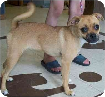 Pug/Chihuahua Mix Dog for adoption in North Judson, Indiana - Spinner