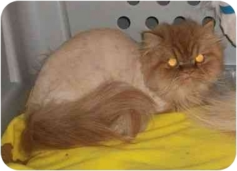 Persian Cat for adoption in Baltimore, Maryland - Leon