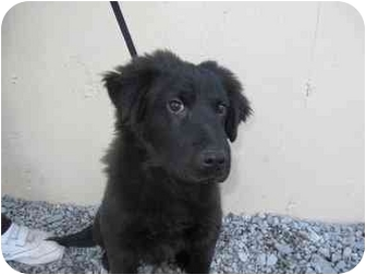 Flat-Coated Retriever Puppy for adoption in Rochester, New Hampshire - Apollo
