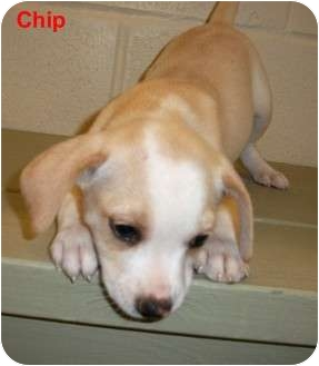 Terrier (Unknown Type, Small) Mix Puppy for adoption in Slidell, Louisiana - Chip