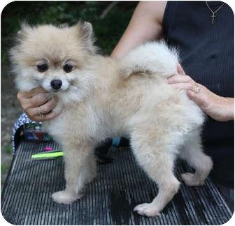 Pomeranian Mix Dog for adoption in Kokomo, Indiana - Snoball