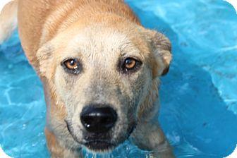 Labrador Retriever Mix Dog for adoption in Spring Valley, New York - Peaches