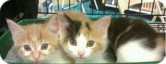 Domestic Shorthair Kitten for adoption in Woodstock, Virginia - Waffles & patches