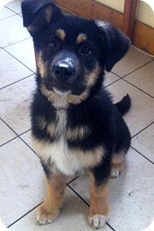 Shepherd (Unknown Type) Mix Puppy for adoption in Edmonton, Alberta - Atticus