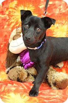 Dachshund Mix Puppy for adoption in Broomfield, Colorado - Vail