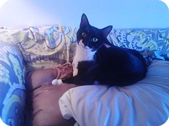 Domestic Shorthair Cat for adoption in Brooklyn, New York - Nemo